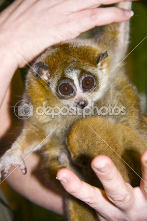 Slow Loris: How it can be yourpet