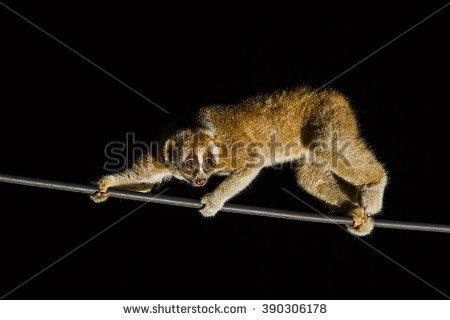 stock-photo-slow-loris-male-walkking-night-in-the-line-390306178.jpg